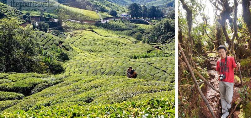 Tea plantation and the Mossy Forest in Cameron Highlands, Malaysia